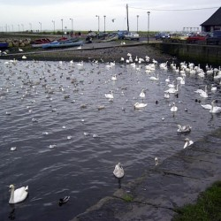 This was in a little marina on the way to the coast in Galway ... Swans are as common as Canada Geese here, and nearly as mean.