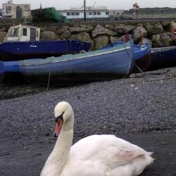 A closer shot of a swan.